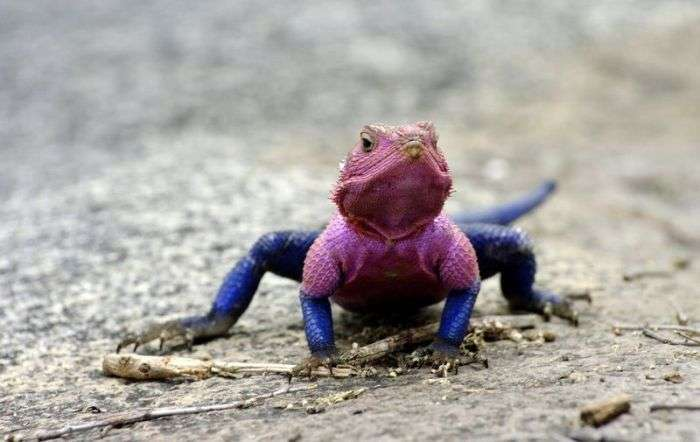 Ящірка, яка стала зіркою в світі тварин (10 фото)