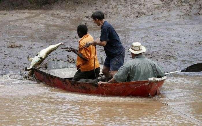 15 000 крокодилів в ПАР тероризують місцевих жителів (9 фото)