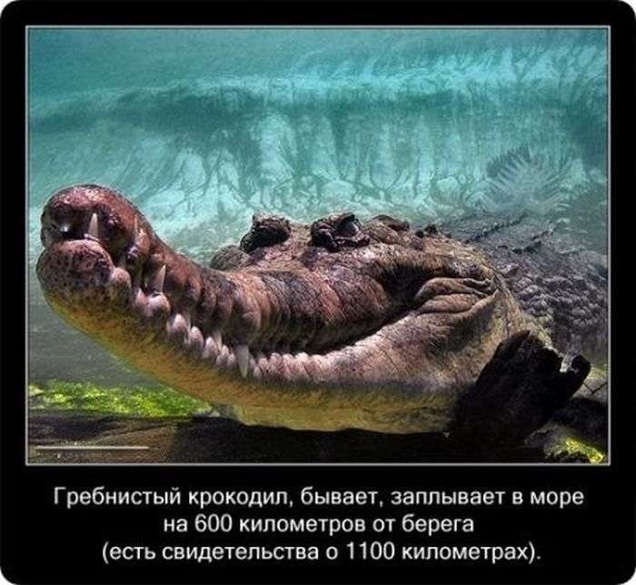 Крокодили: пізнавально і цікаво (22 фото)