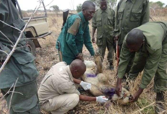 Нещасний лев, який 3 роки мучився з капканом на шиї (4 фото)