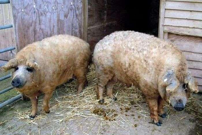 Тепер у свиней цінується не тільки мясо, але і хутро (13 фото)