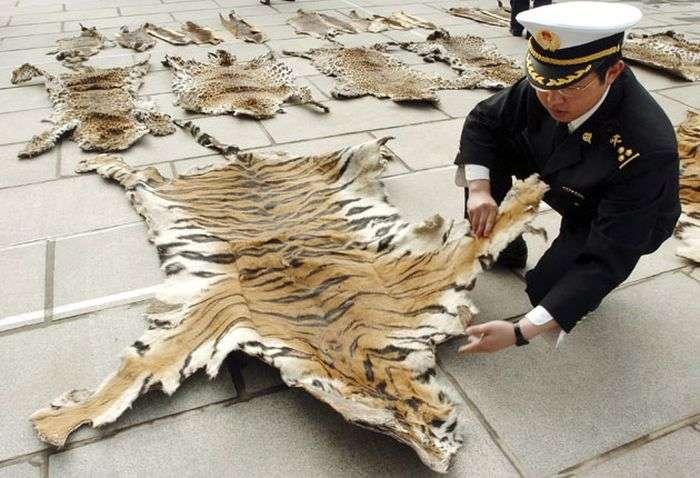 Морять тигрів до смерті, щоб зробити вино з їхніх кісток (4 фото)