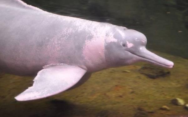 Представь розового дельфина. На самом деле он выглядит не так Интересное