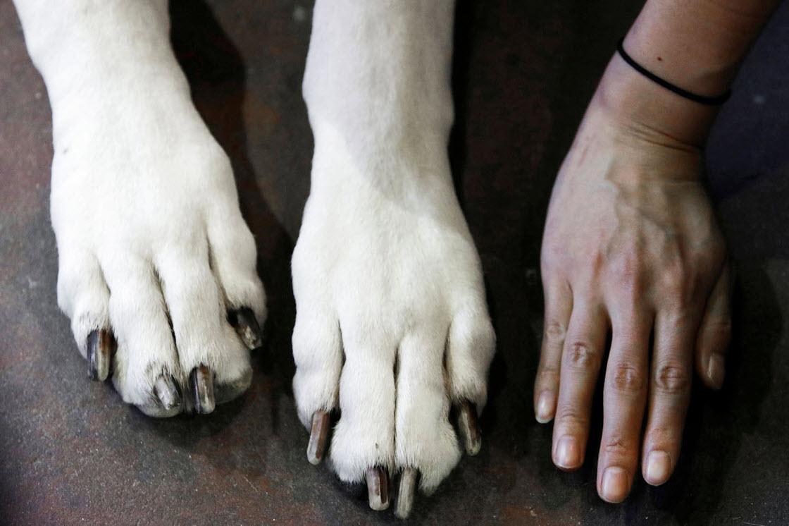 Выставка собак Westminster Kennel Club 2019 выставка, шоу