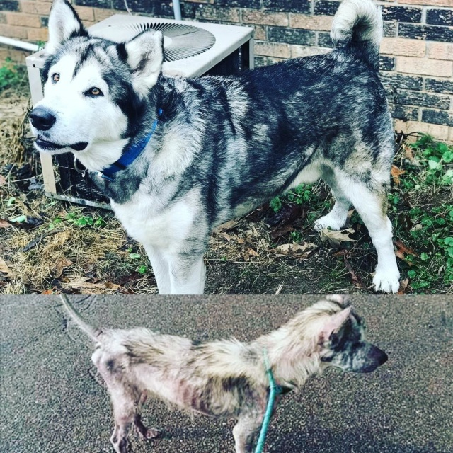 Больной пес изменился до неузнаваемости, когда обрел новый дом Всячина
