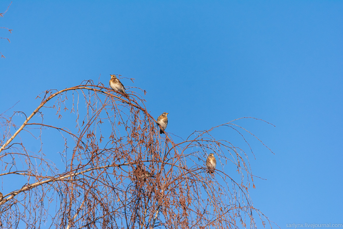 Птичий понедельник. Рябина есть? Тогда они летят к вам! Саратов