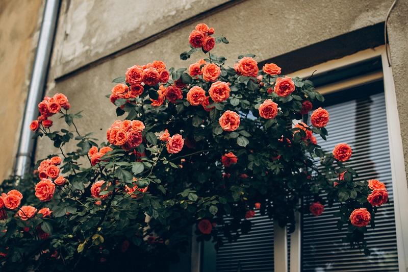 Как ухаживать за плетистой розой Вдохновение