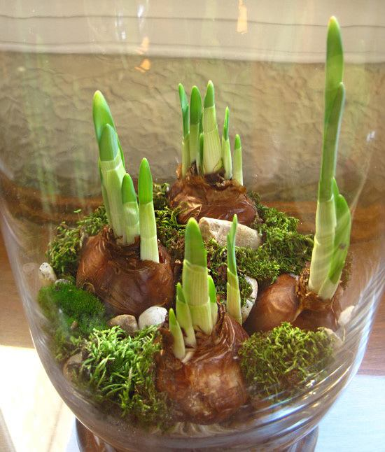 Зимой, когда так скучаешь за весенними запахами и красками, можно вырастить тюльпаны и нарциссы в вазе, в воде без почвы домашний очаг