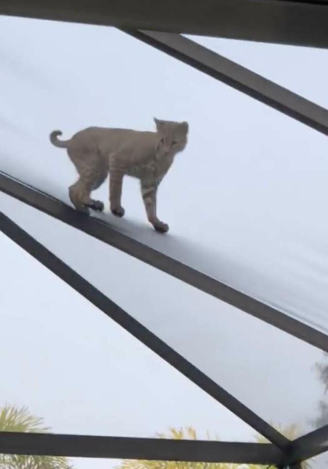 Женщина услышала шум во дворе дома, и обнаружила на крыше дикую рысь животные