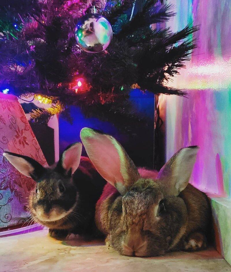 Кролик Ромео весит в 4 раза меньше своей подружки, но это не стало помехой их большой пушистой любви картинки
