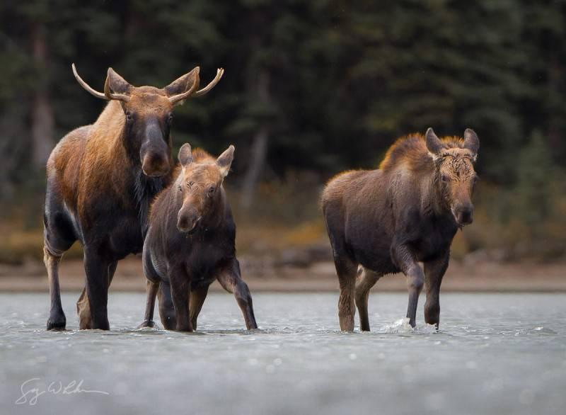 Лось — лесной исполин. Красивые фотографии лосей животные